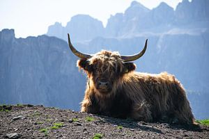 Schotse Hooglander in  bergketen Dolomieten