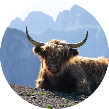 Schotse Hooglander in  bergketen Dolomieten van Michael Jansen