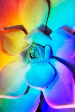 Echeveria met prisma regenboog effect van
