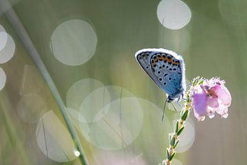 Heidekrautblau auf der Heide von Kaat Nobelen