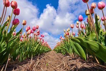 Eine lange Reihe niederländischer roter Tulpen von eric van der eijk