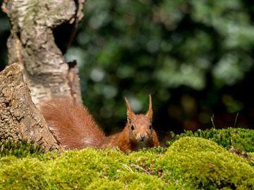 Eichhörnchen von Wendy Drent