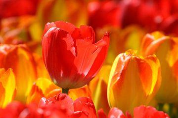 Tulpen in de Keukenhof (12) van Antwan Janssen