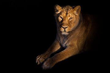 Löwin auf schwarzem Hintergrund. Graziös liegt eine gelbe Löwin mit einem Schatten. Eine kräftige Lö von Michael Semenov