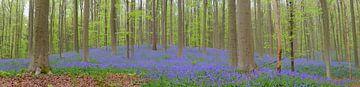 Wilde Hyacinten bloemen op de bosbodem in de lente van Sjoerd van der Wal
