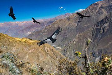 Andescondors vliegen bij Cruz del Condor, Colca Canyon, Peru van Rietje Bulthuis