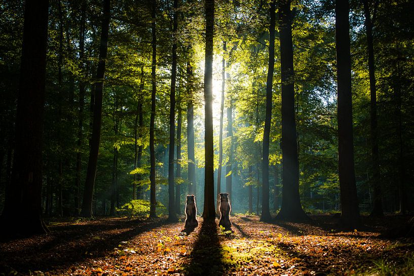 Standing tall - Border Collies in het bos van Pieter Bezuijen