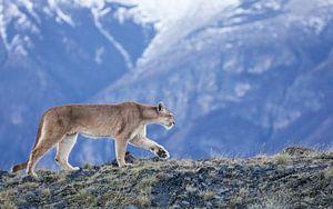 Puma dans les montagnes sur Lennart Verheuvel