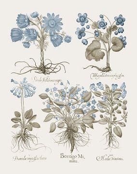 Basilius Besler-Diverse Pflanzen, Kräuter