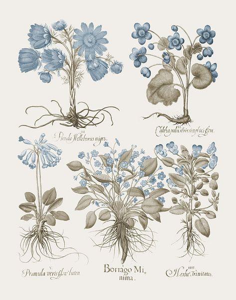 Basilius Besler-Diverse Pflanzen, Kräuter von finemasterpiece