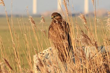 Buizerd - Roofvogel  van Fotografie Sybrandy