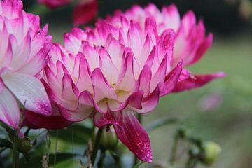 Roze-witte bloemen met druppels van Ilona Bredewold
