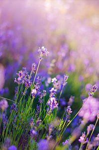 Lavendel Dreams