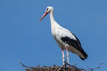Une cigogne adulte célibataire contre un ciel bleu sur un grand nid sur Tonko Oosterink