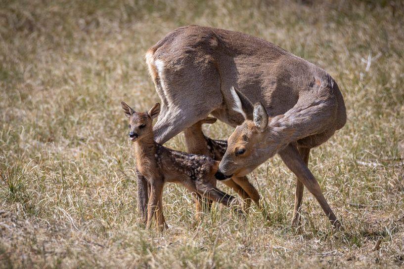 Moederliefde (ree met kalfjes) van Jaap Tempelman