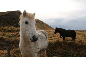 Paarden in Ijsland von Kevin Kardux