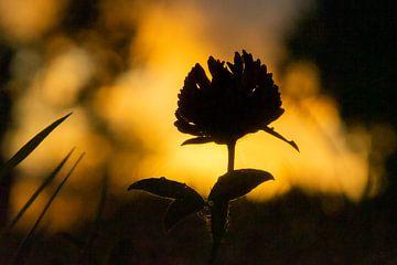 Klaverbloem bij zonsondergang van Connie Posthuma