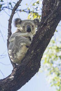 Koala im Eukalyptusbaum ruhend I