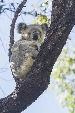 Koala rustend in de eucalyptus boom I van Geke Woudstra