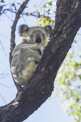 Koala rustend in de eucalyptus boom I