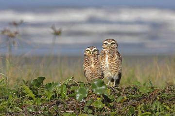 Deux hiboux sur la plage sur Birdy Flying