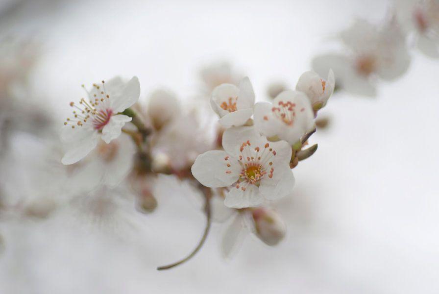 Witte lentebloesem in een romantische sfeer van Birgitte Bergman