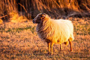 Schafe in der untergehenden Sonne im Naturschutzgebiet Meijendel von MICHEL WETTSTEIN