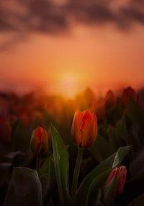 Tulpen bei Sonnenaufgang in Lisse von Marijke Groos