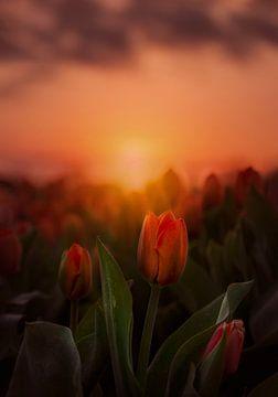 Tulpen bij zonsopgang in Lisse van Marijke Groos