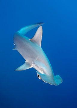 Scalloped Hammerhead Shark van Norbert Probst