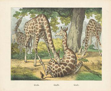 Giraffen, firma Joseph Scholz, 1829 - 1880
