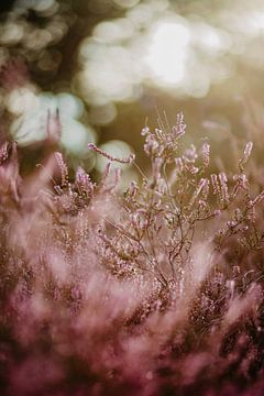 Heide bloem van Yara Verstappen