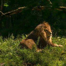 lion in the morning sun van Bart Berendsen