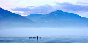 Schwertwale in Landschaft