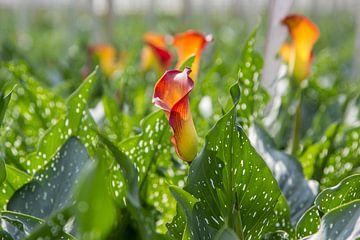 Bloemen, Kom in de Kas van Guido van Veen