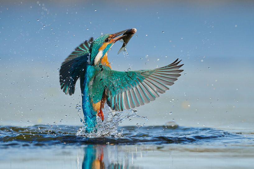 Martin-pêcheur - En un clin d'œil sur IJsvogels.nl - Corné van Oosterhout