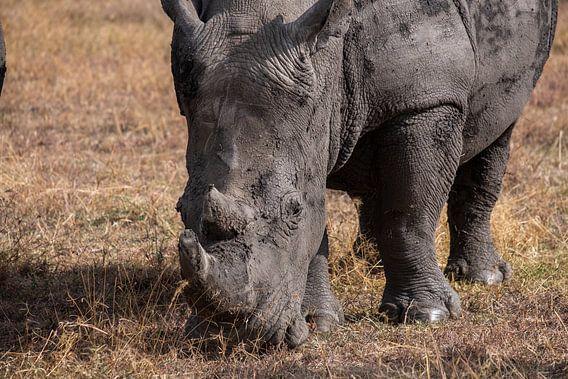 Neushoorn in Ol Pejeta Kenia