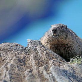 Een marmot in de Hohe Tauern van Rudolf Brandstätter