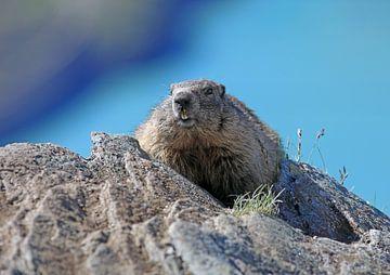 Een marmot in de Hohe Tauern