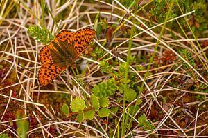 Veenbesparelmoervlinder (Boloria aquilonaris) in Zweden van