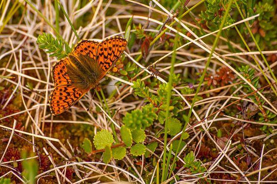 Veenbesparelmoervlinder (Boloria aquilonaris) in Zweden van Margreet Frowijn