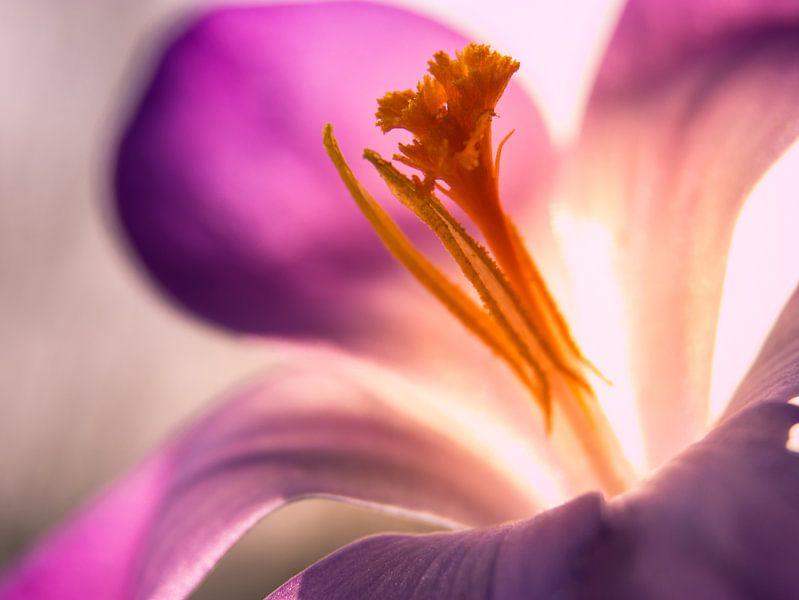Krokus / Bloem / Bloemblaadje / Stamper / Natuur / Licht / Oranje / Geel / Wit / Roze / Paars / Clos van Art By Dominic