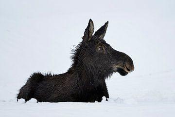 Eland ( Alces alces ), jong dier in de eerste winter, liggend in de sneeuw, grappig, attente blik, Y van wunderbare Erde
