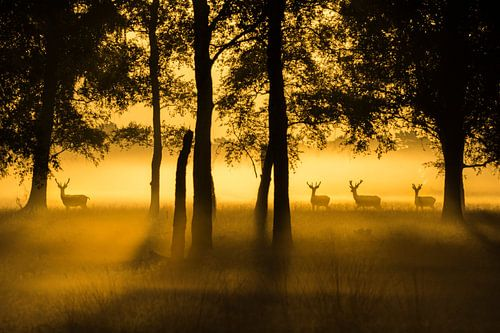 Edelherten  Veluwe met zonsopkomst
