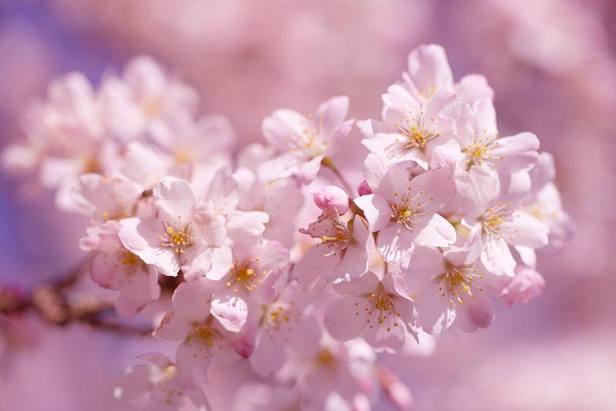 Sweet pink cherry blossom