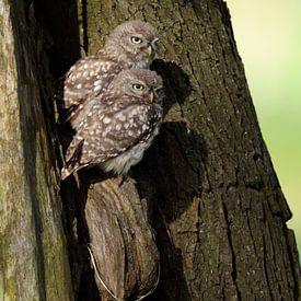 Little Owl ( Athene noctua ), two cute fledglings, owls sitting together in an old tree relaxing in  van wunderbare Erde