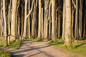Coastal forest in Nienhagen, Germany van