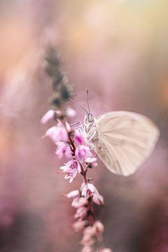 Verträumtes Weiß (Schmetterling) auf dem blühenden rosa Heidekraut
