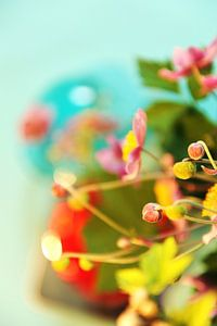 Japanse Anemoon, knopen en bloem van
