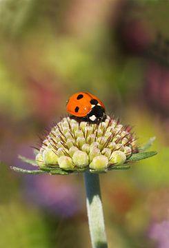Lieveheersbeestje op een bloemknop met een kleurrijke achtergrond van Dagmar Hijmans